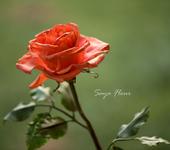 Цветы - Розы из полимерной глины